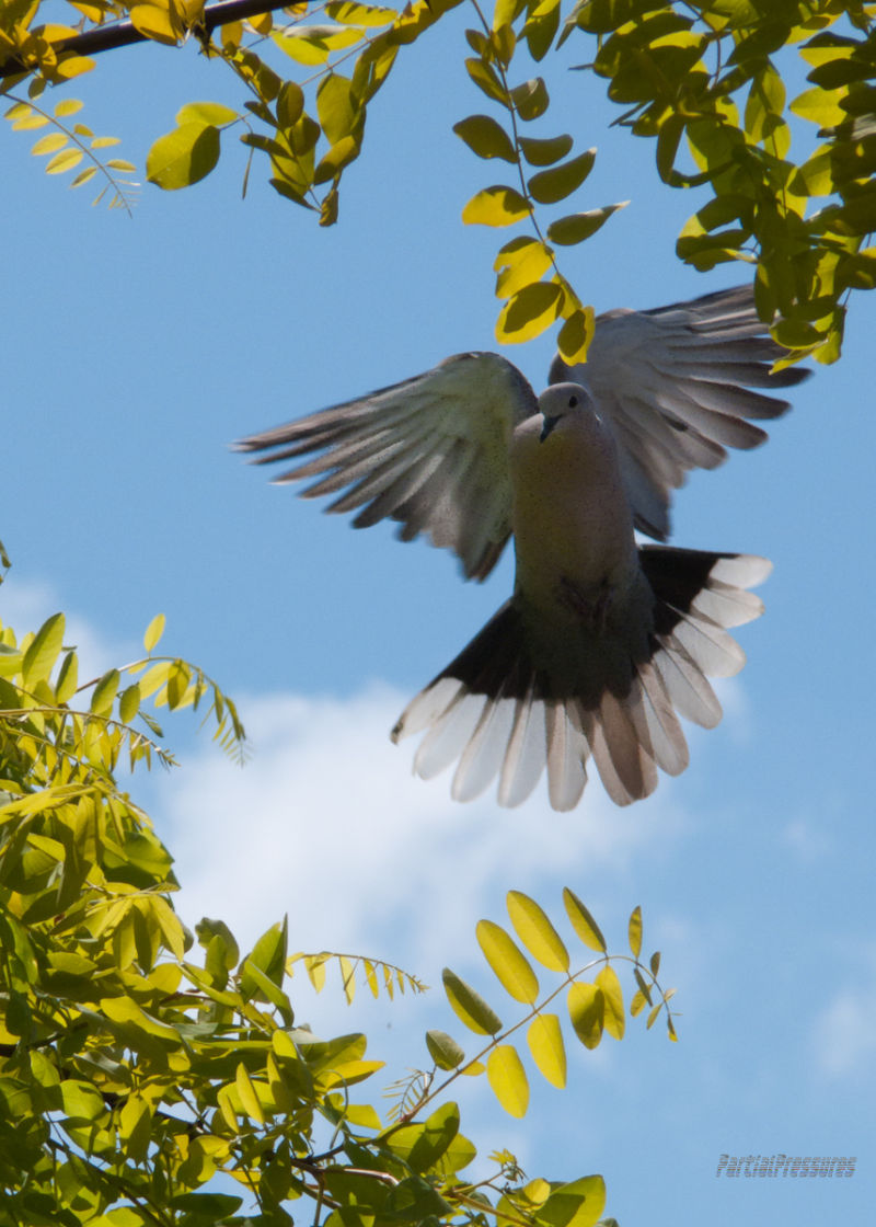 Collared dove arrives to help with nest-building