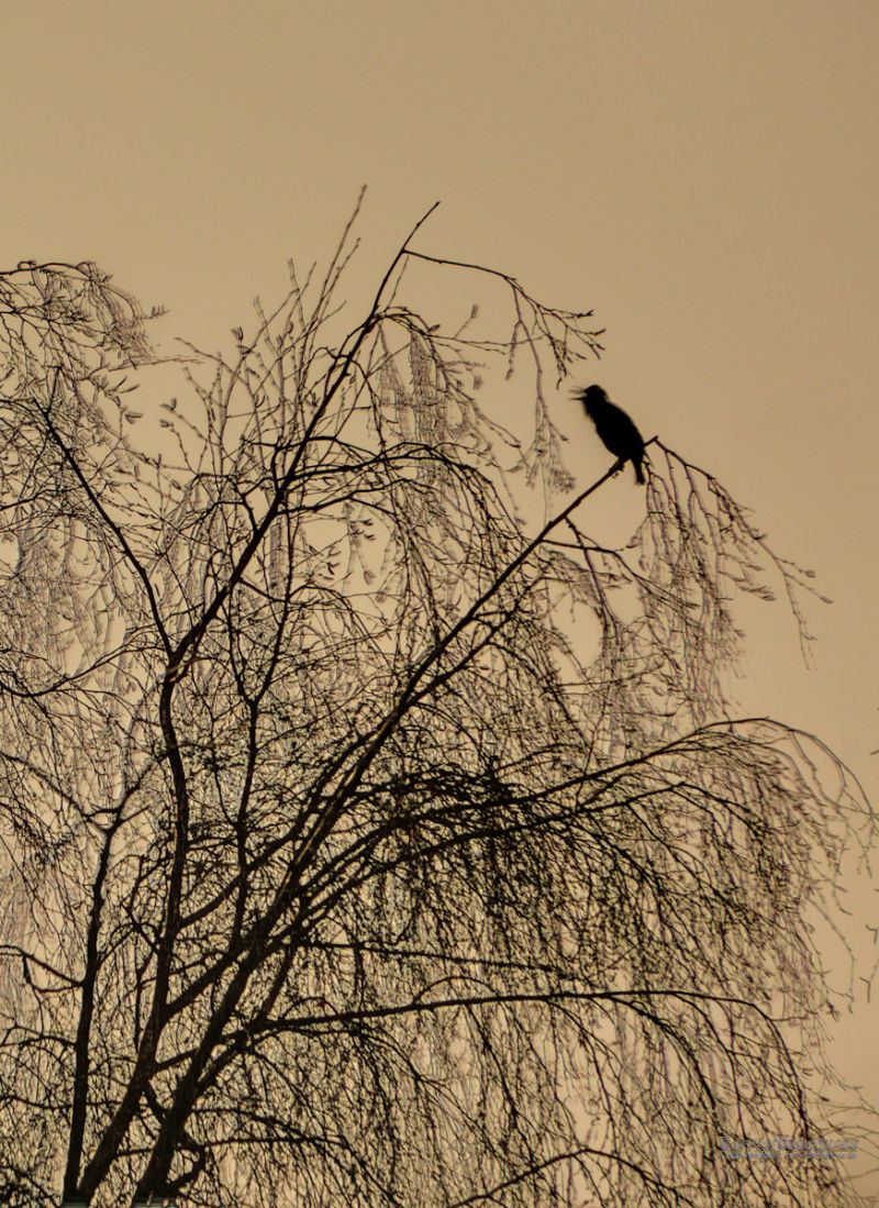 Starling in full song