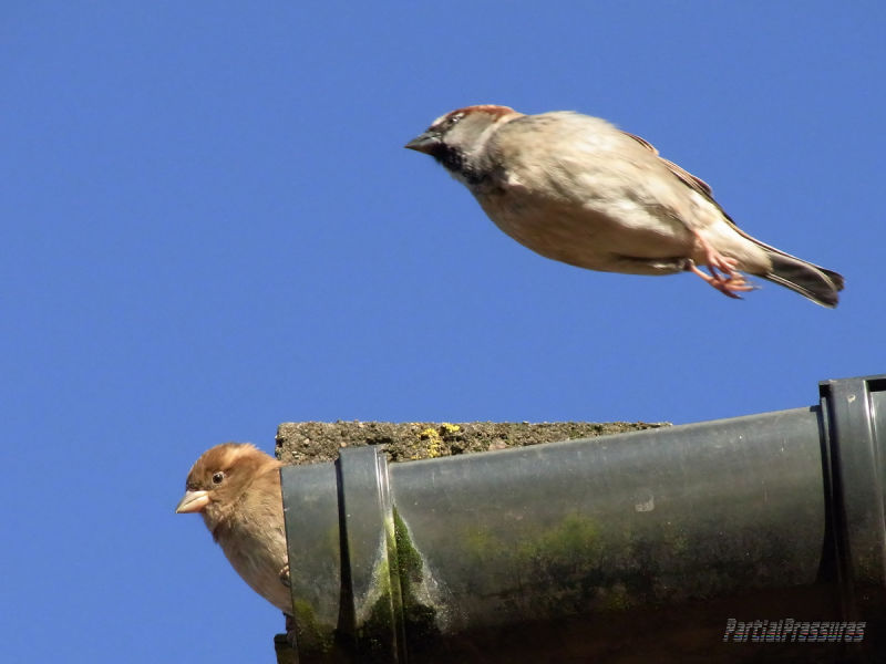 Flying is no leap of faith for sparrows