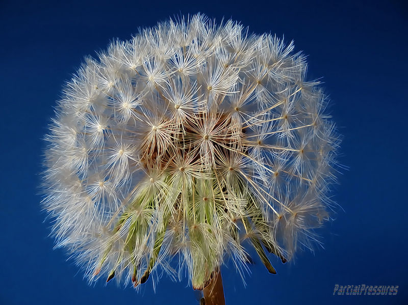 Impressionistic dandelion head