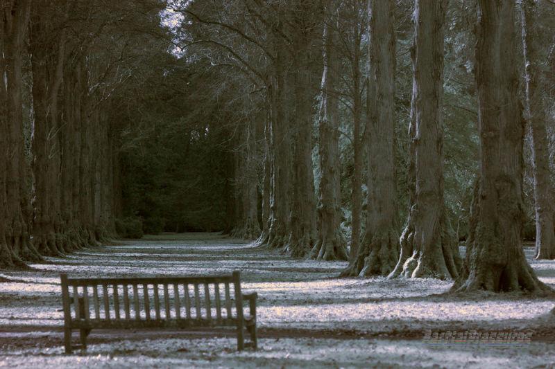 """Westonbirt Arboretum's """"Lime Avenue"""" in IR"""