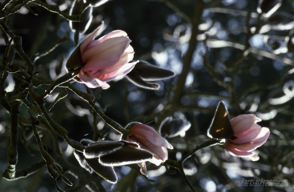Dreaming of magnolias