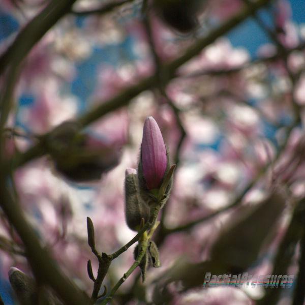 A magnolia bud waits its turn