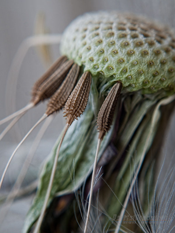 The last few seeds cling to a dandelion head