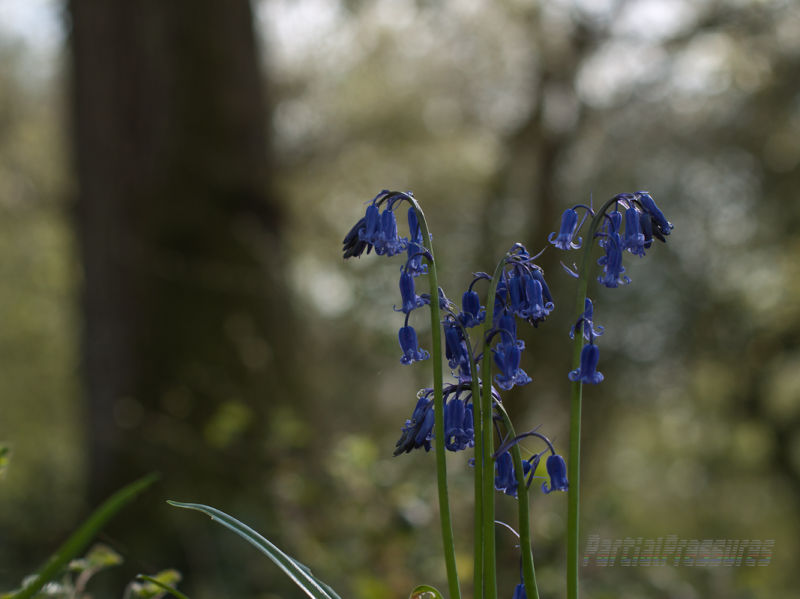 An advance party of bluebells surveys the woods