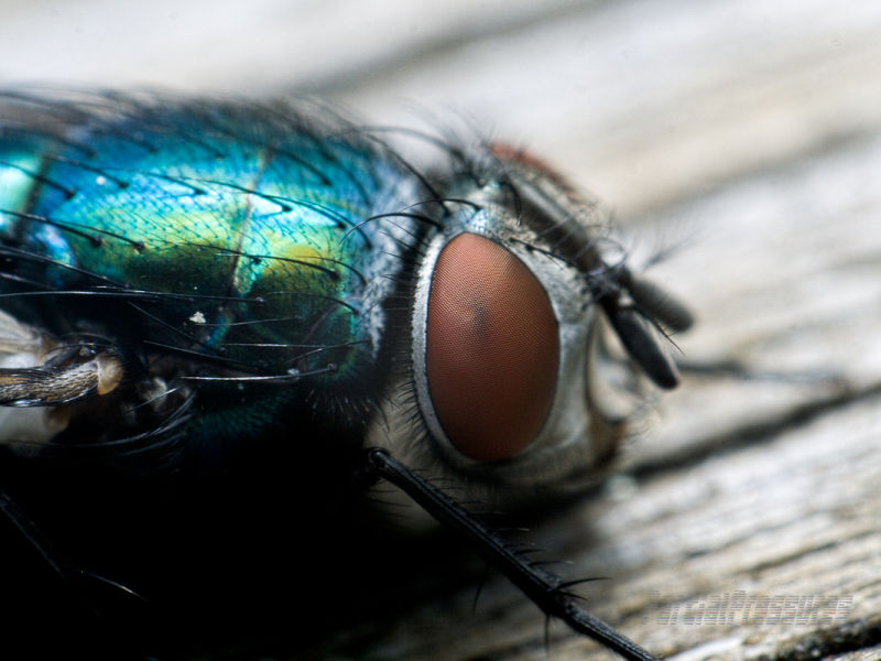 Greenbottle close up