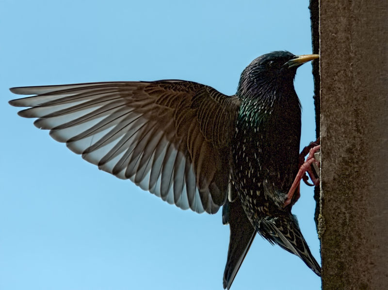 A starling about to feed a youngster