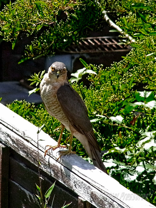 Mrs Sparrowhawk looking for a late lunch