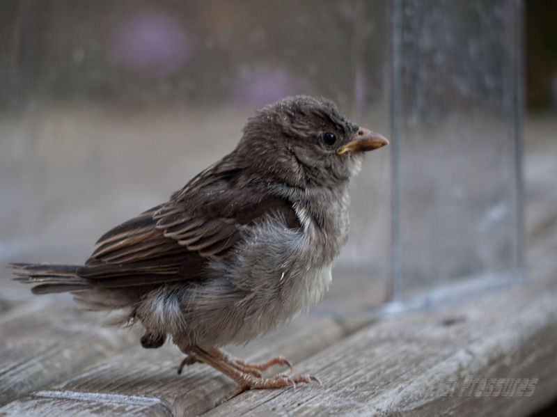 Baby sparrow contemplates his new environment