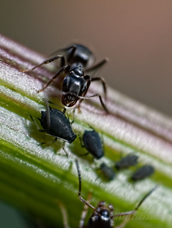 An ant drumming on aphids