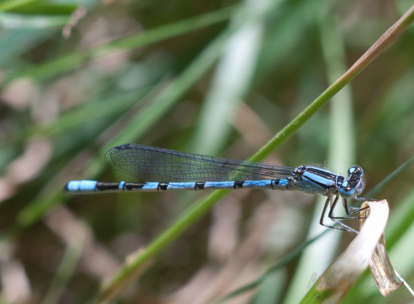 Chilled damselfly