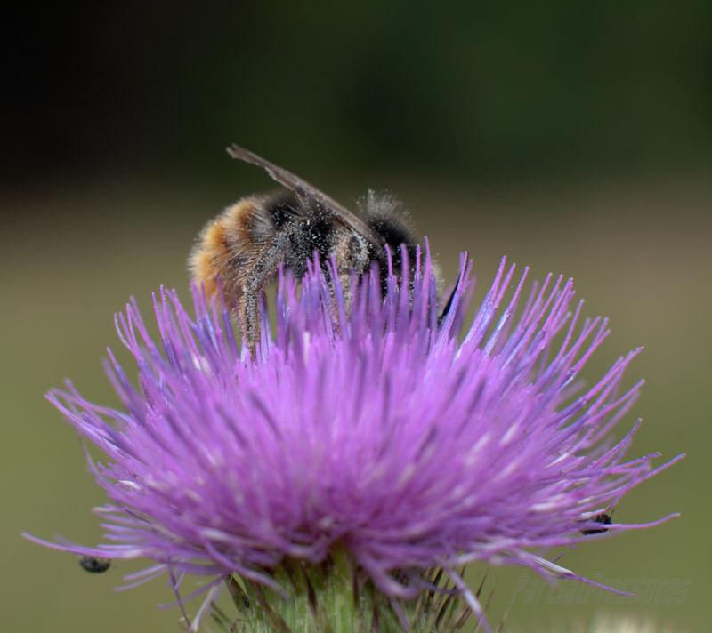 Elderly bumblebee working through a thistle flower