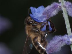 Honeybee harvesting from russian sage