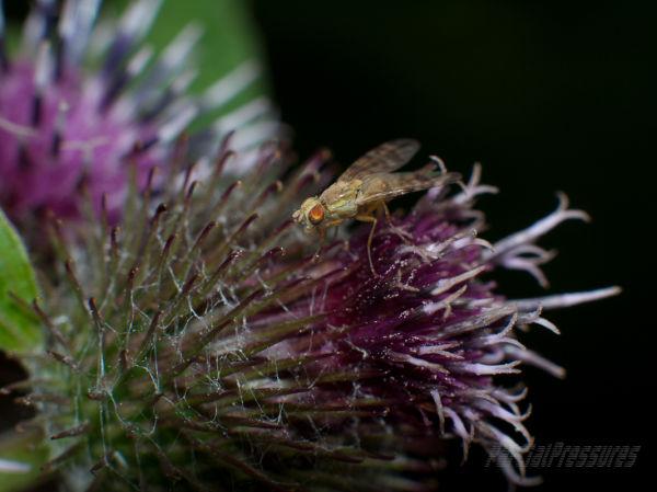 golden-eye fly on burdock flower