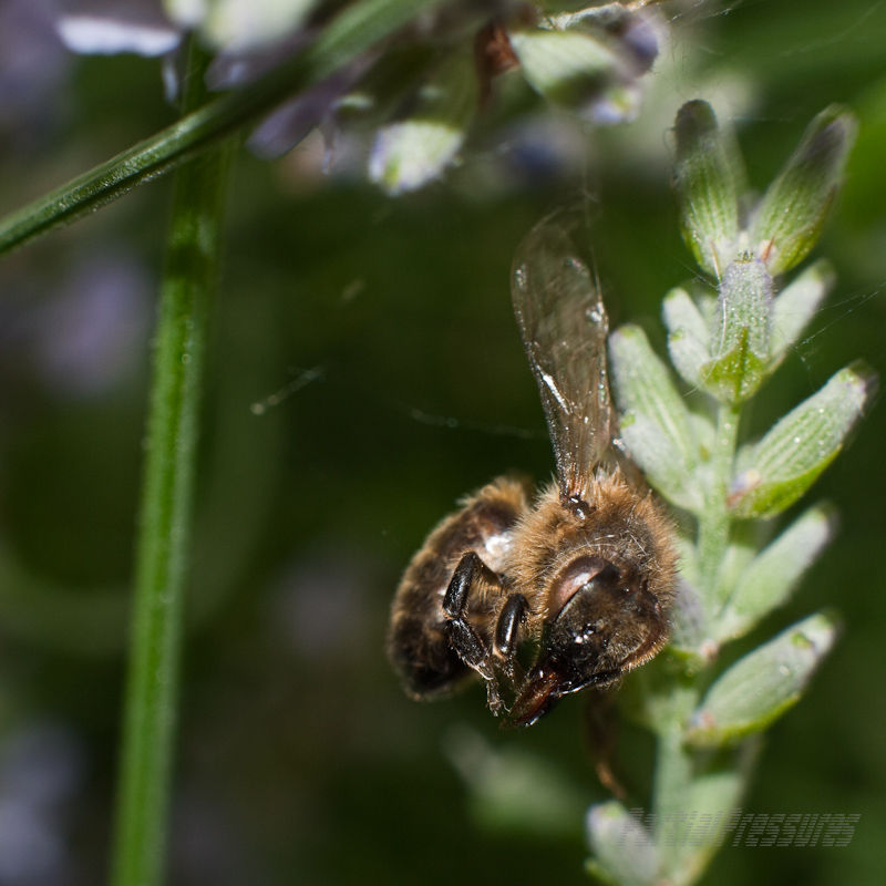 A honeybee in her last resting place