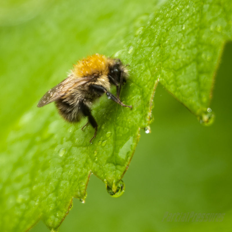 A bumblebee waits out a shower