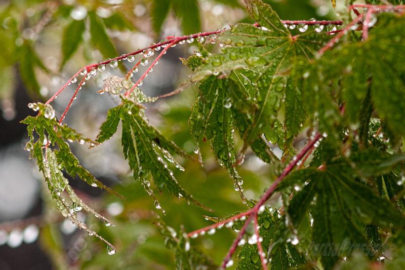 Maples after a downpour