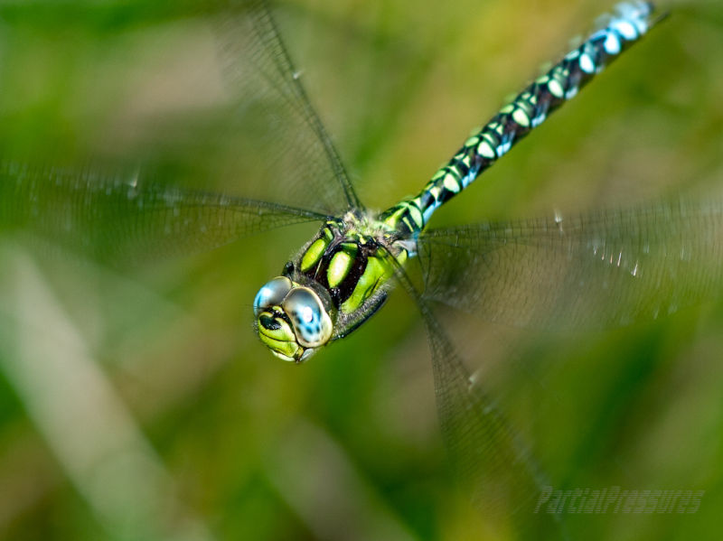 Southern Hawker, up close and personal