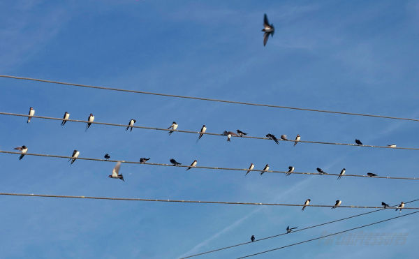 Swallows gathering to watch the sunset