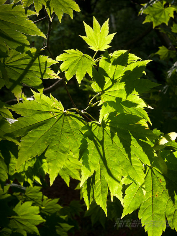 Light playing on maple leaves