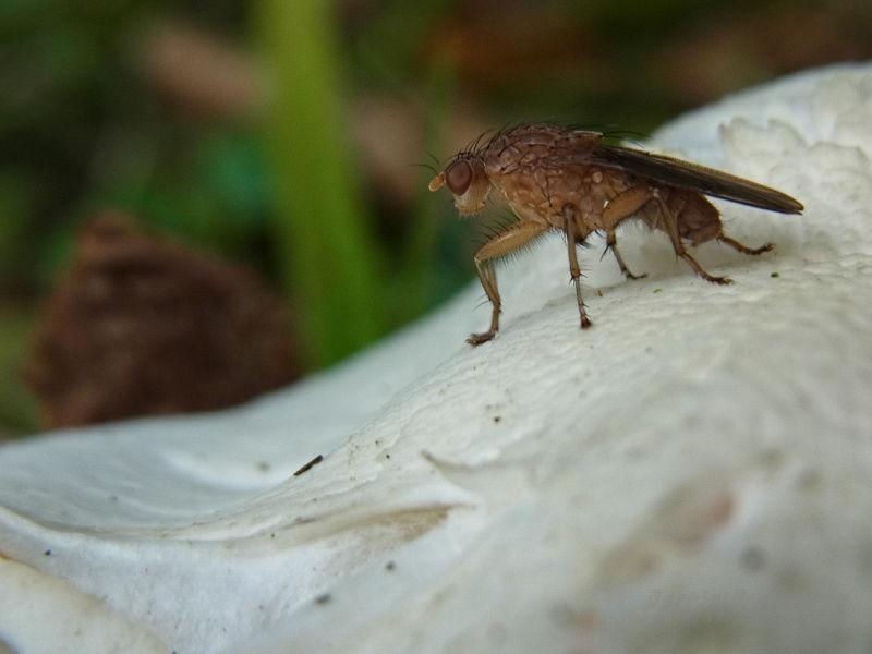 Fly guarding a mushroom