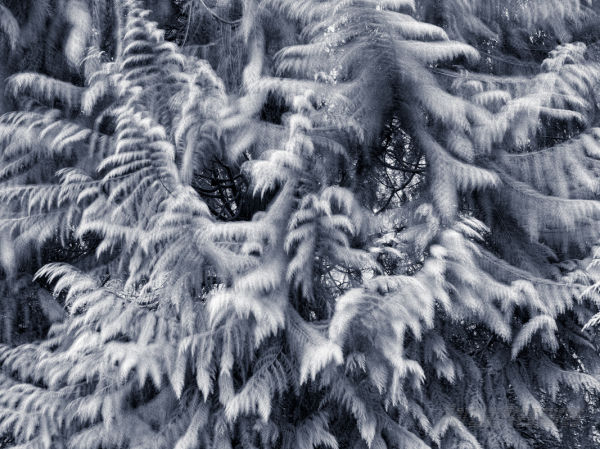 Cedar boughs in the breeze