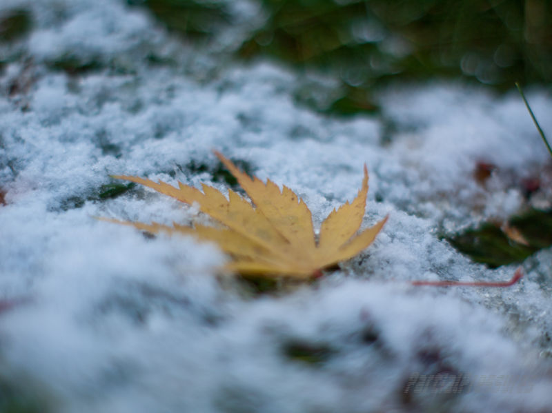 Acer leaf lying in a patch of snow