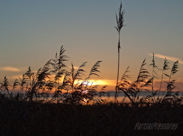 Reeds silhoutted against the setting sun