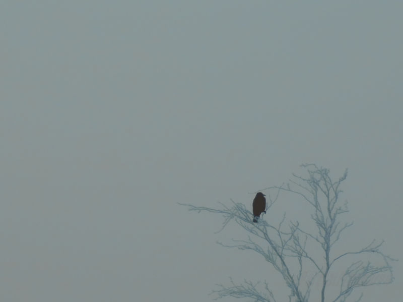 Crow in a tree, lost in mist