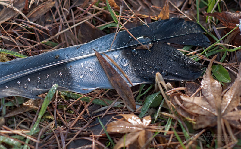 Closeup of a pigeon feather among leaf litter