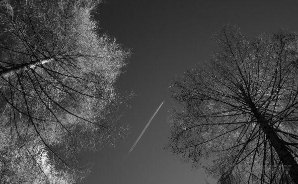 Larches and plane