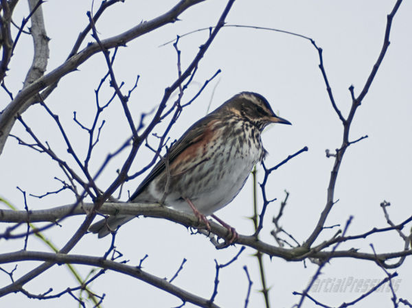 A fieldfare seen through an improbably long lens