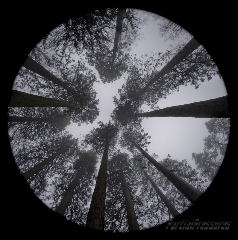 Looking up through sequoias