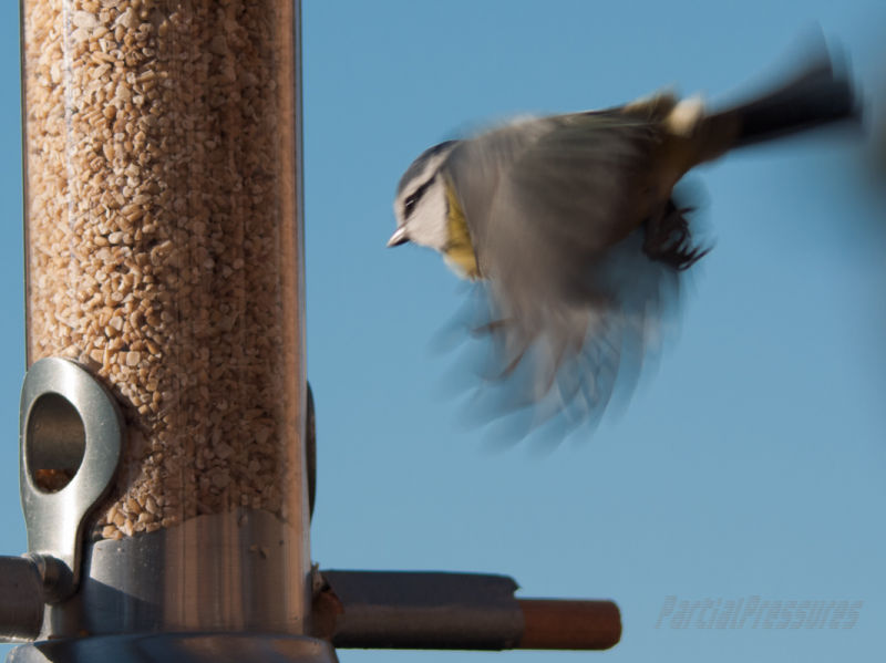 A blue tit taking off from a feeder