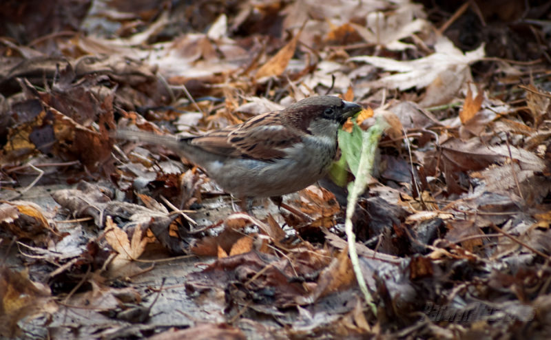 A sparrow goes undercover to get green salad