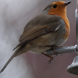 A robin arrives for lunch