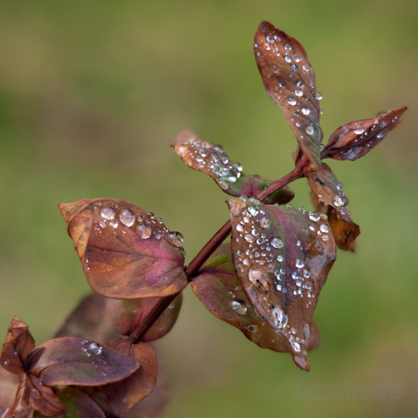 Water droplets on coloured leaves