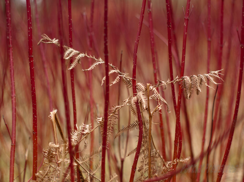 Bracken remains among dogwood stems