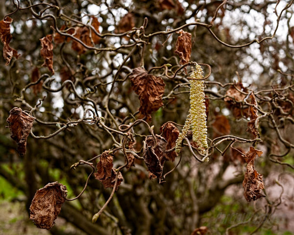 Catkin and old leaves on a corkscrew hazel tree