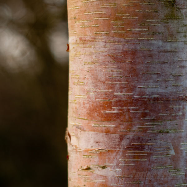 Birch bark at sundown