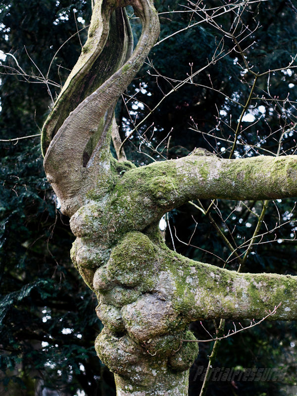 Curiously twisted tree trunk