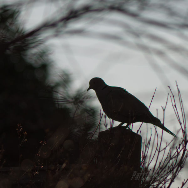 Collared dove silhouetted on a fencepost