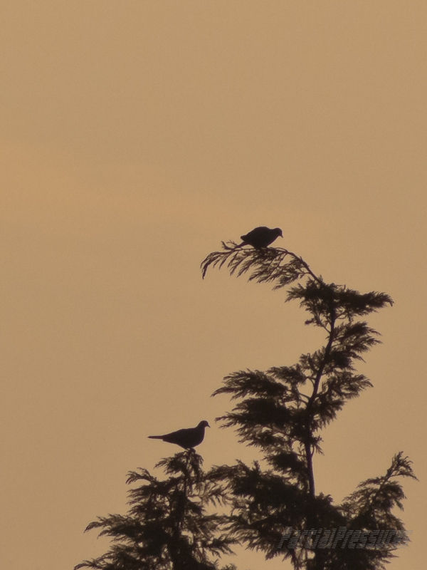 Two doves share a treetop at sunset
