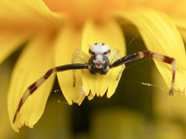 A crab spider lurking on a dandelion