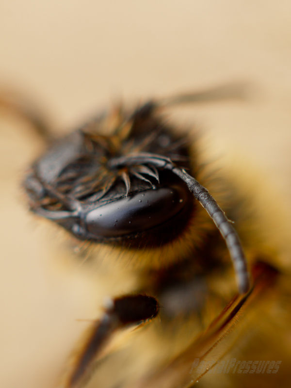 A bee peers at the camera