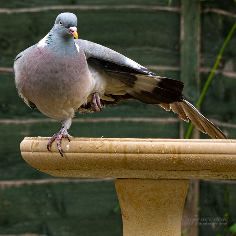 Wood pigeon stretching