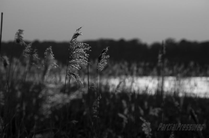 Reeds watching the sunset