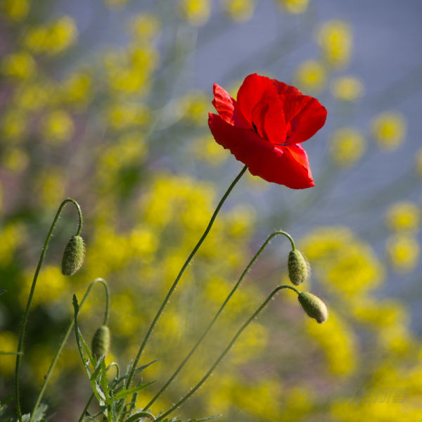A poppy beside the canal
