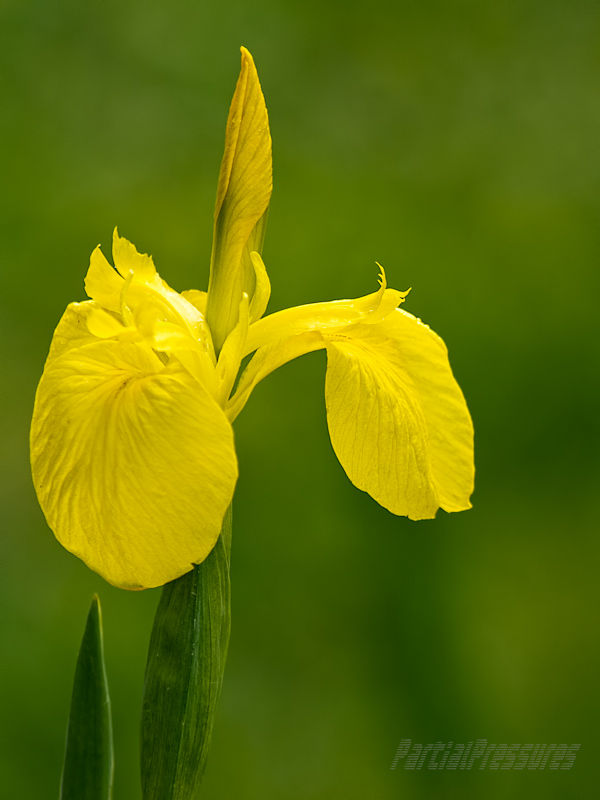 yellow flower, green background