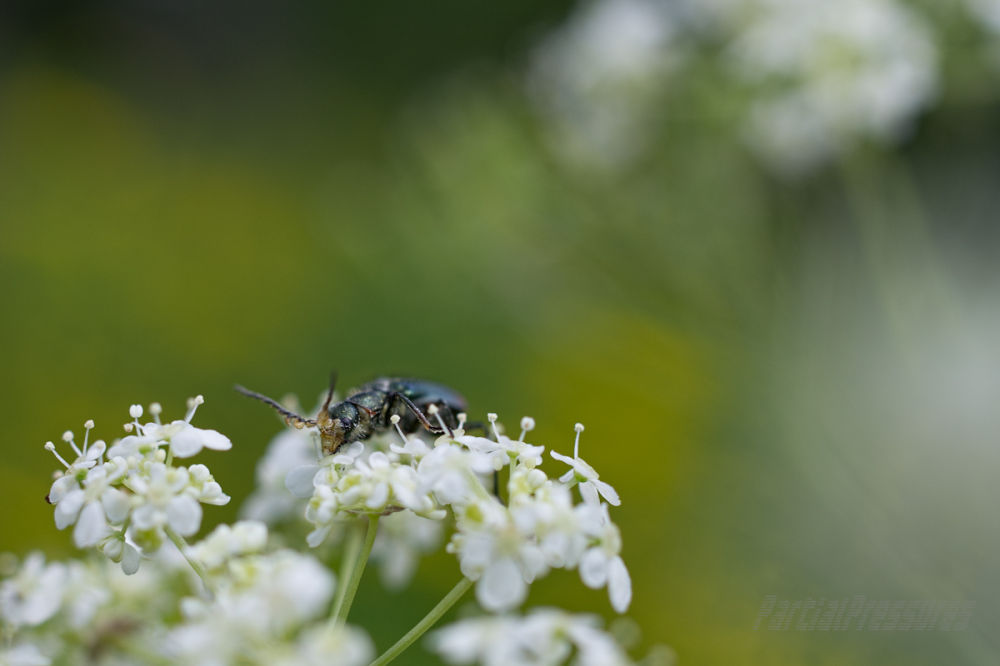 A beetle dusted in cow parsley pollen